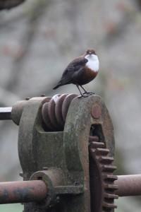 Dipper on Lock gate