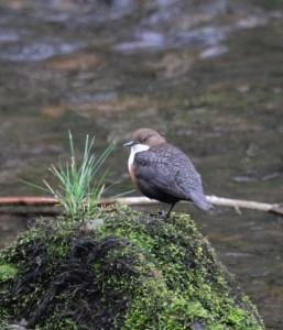 Dipper on Weir